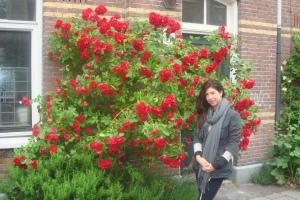 amsterdam roses